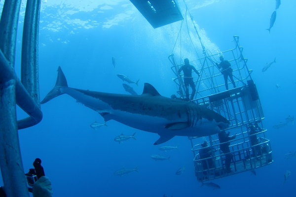 Dive with Great Whites in Isla Guadalupe, Mexico with Incredible Adventures