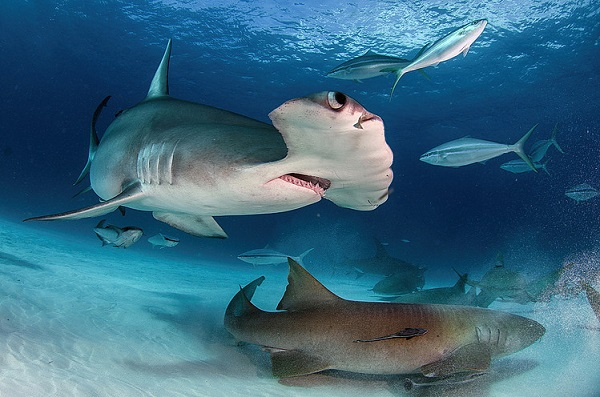 One Day Cage Dives with Great Hammerhead Sharks in Bimini Bahamas with IA