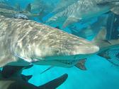Dive with Great White Sharks, Tiger Sharks, Lemon  Sharks and Reef Sharks